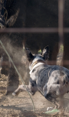 Selecting a cowdog